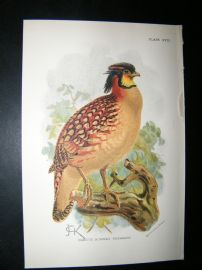 Allen 1890's Antique Bird Print. Cabot's Horned Pheasant. Keulemans